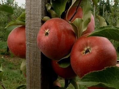 Лебедянские яблоки